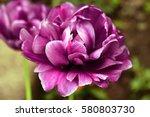 peony purple tulip on a green... | Shutterstock . vector #580803730