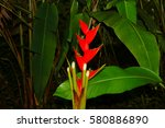 Red Heliconia  Heliconia...