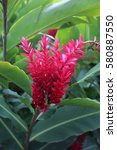 Small photo of Alpinia purpurata, red ginger, also called ostrich plume and pink cone ginger. Red flower with green leafs. plant. flower.