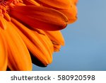 Orange Gerbera Daisy In A...