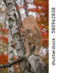 Small photo of Adult Male Cougar (Puma concolor) in Birch Tree - captive animal