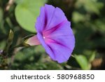Purple Blueish Morning Glory ...