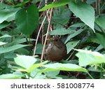 Cute Rufous Bellied Thrush ...