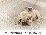 couple of pug.lovely pug dog... | Shutterstock . vector #581045704