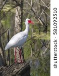 Small photo of American white ibis at Brazos band state park
