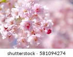 cherry blossoms blooming in... | Shutterstock . vector #581094274