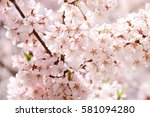 cherry blossoms blooming in... | Shutterstock . vector #581094280