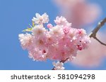 cherry blossoms blooming in... | Shutterstock . vector #581094298