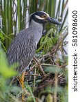 Small photo of yellow-crowned night heron (Nyctanassa violacea)