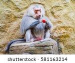 hamadryas baboon male eating... | Shutterstock . vector #581163214
