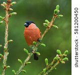 male bullfinch perched on a... | Shutterstock . vector #581200450