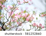Small photo of Pink American dogwood