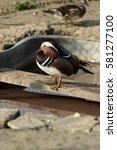Small photo of male mandarin duck , Aix galericulata