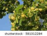 linden tree in bloom  against a ... | Shutterstock . vector #581312284