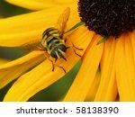 Hoverfly  Female  Myathropa...