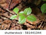 leaves of fresh green. leaves... | Shutterstock . vector #581441344