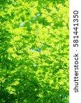 leaves of fresh green. leaves... | Shutterstock . vector #581441350