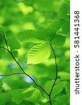 leaves of fresh green. leaves... | Shutterstock . vector #581441368