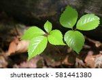 leaves of fresh green. leaves... | Shutterstock . vector #581441380