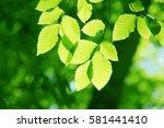 leaves of fresh green. leaves... | Shutterstock . vector #581441410