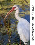 Small photo of American white ibis