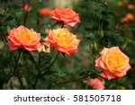 Orange Rose In Garden