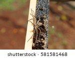 Cane Spider. Heteropoda...