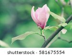 blossoming of pink magnolia... | Shutterstock . vector #581675554