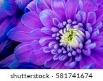 Flower Gerbera Purple And Pink