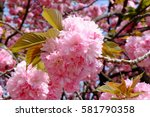 Close Up Of Cherry Blossoms ...