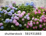 Hydrangea Is Pink  Blue  Lilac  ...