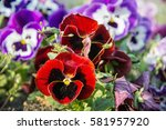 red and purple pansies in the... | Shutterstock . vector #581957920