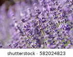 lavender  lavandula spica  ... | Shutterstock . vector #582024823
