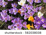 Colorful Crocuses Bloom In...