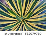 Small photo of natural texture of Agave americana or American aloe