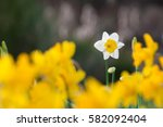 One White Daffodils In The...