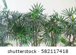 Fresh And Green Bamboo Palm...