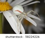 Goldenrod Crab Spider On Daisy...