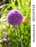 Small photo of Flower of a decorative onion Allium nigrum