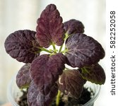 Small photo of Potted coleus Black Dragon, annual ornamental garden plant pectranthus with brown foliage