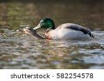 Mallard  Duck   Copulation