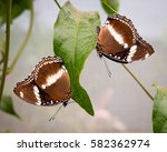 Two Brown Butterflies On A...