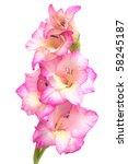 Gladiolus Priscilla. Pink...