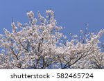 cherry blossoms blooming in... | Shutterstock . vector #582465724