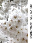 cherry blossoms blooming in... | Shutterstock . vector #582465730