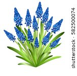 Muscari  Grape Hyacinth . Hand...
