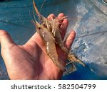 fresh shrimp in hand on the... | Shutterstock . vector #582504799