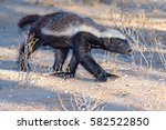 honey badger | Shutterstock . vector #582522850