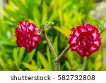 desert rose mock azale impala... | Shutterstock . vector #582732808