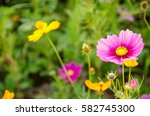 Close Up Wildflower Cosmos...